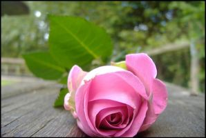 A rose... by Somebody-Somewhere