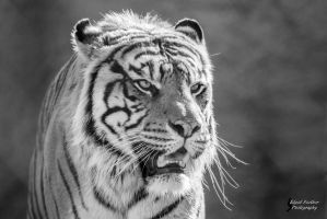 Sumatran Tiger by EdgedFeather