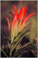 Indian Paintbrush by twistedelegance