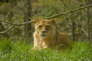 Lioness Laying in Grass by happeningstock