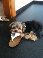 Chico noms on your sandals by ProfessionalPuppy