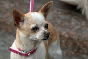 Another Chihuahua by attomanen