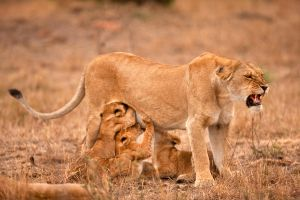mother and cubs by catman-suha