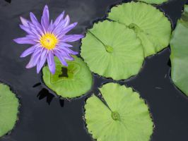 Purple water lily 1 by greyrowan