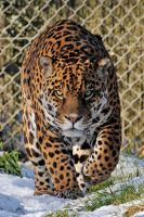 Jaguar 01 by LydiardWildlife