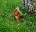 Red Squirrel by taramara