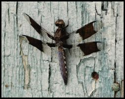 White-Tail Dragonfly by texasghost