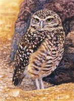 Burrowing Owl by WillemSvdMerwe