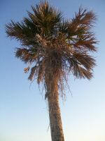 Palm Tree by penny-duchess-stock