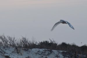 A Gorgeous Snowy Owl by infiniteXdreamscape8