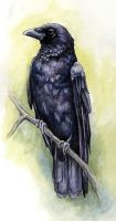 Crow by glait