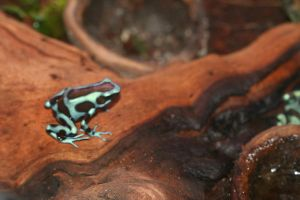 Magic Wings Poisonous Frog by Maeve09