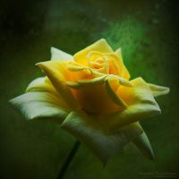 Rose by rici66