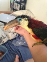 My baby toucan by AmayaxSin