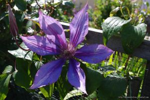 Blue Clematis by dreamssetufree