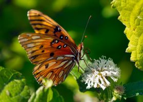 Gulf Fritillary caught by the lake by drewii57