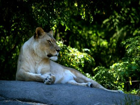Zoo Trip Female Lion by the-astronaut