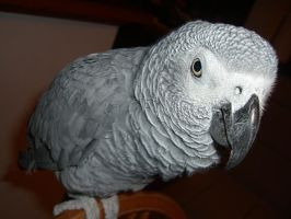 african grey parrot 4.1 by meihua-stock