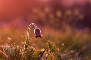 Pasque flower in purple light by victoria-P