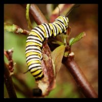 Monarch Caterpiller by samrockk