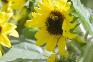 Sunflowers Are Buzzing by Miss-Tbones