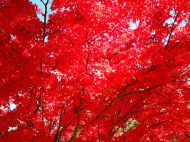 Red Leaves of Fall by SenbonGirl7
