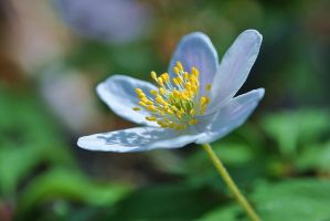Wood Anenome by hannajayne31