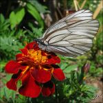 The Black-veined White by JoannaMoory