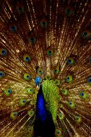 Peacock... by amzb87