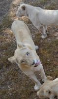 White lioness pulling funny faces by RecreateStock