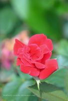 Rose by kimberly-castello