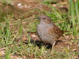 Dunnock by nectar666