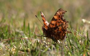 The first Comma Butterfly of 2012 by DebDurrant