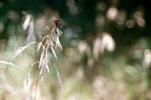 Dragonfly by MaddLouise