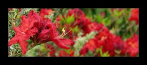 Red flowers 8 by assimilated