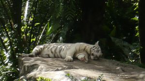 White Tiger Dozing Off by iPaints