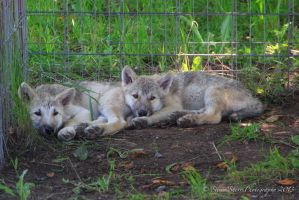 Wolf Pups by Mac-Wiz