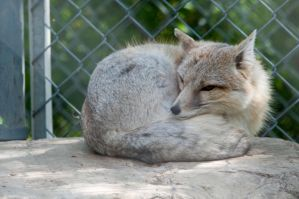Sleeping fox 2 by DarkBeforeDawn23