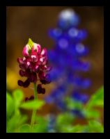 Red n Bluebonnets by justfrog