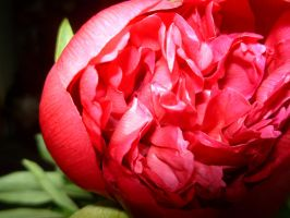 peony336 by firefreezeall