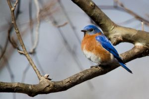 Blue Bird 6 by bovey-photo