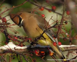 Snowbound Waxwing by vanwaglajam