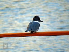 Kingfisher On Railing by wolfwings1