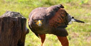 Harris Hawk Stare by kindlight