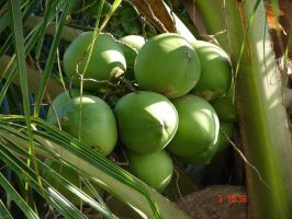 Coconuts by angieuly