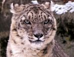 Snow Leopard Stock 34 by HOTNStock