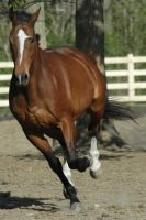 chubbs 1 by stockhorse