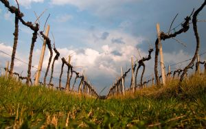In the vineyard by lpetrusa