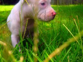Luna The Pit Bull Puppy by ImaDorkasaur