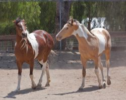 HORSE STOCK -  Pintos 4 by kittykitty5150